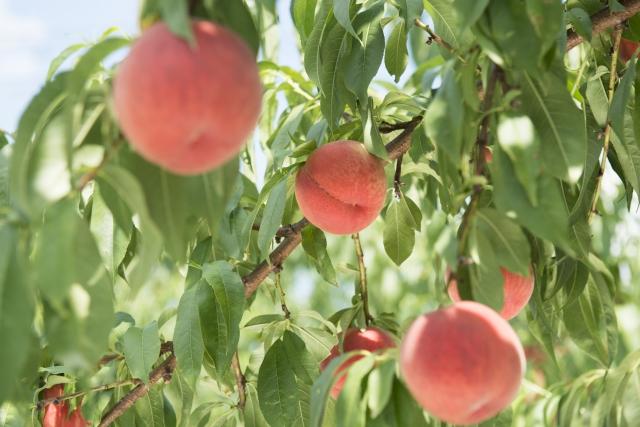 アグリパーク竜王の桃狩りは2時間食べ放題♪混雑状況や予約はできるの?